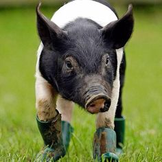 oh... my... goodness... I am on in love with this piggie wearing boots! :D