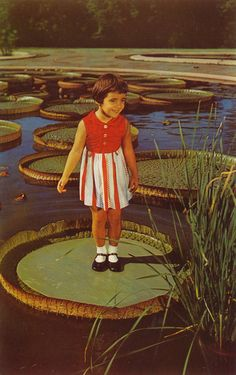 Longwood Gardens - Kennett Square, Pennsylvania. Certain varieties of lily pads are strong enough to support the weight of a small child