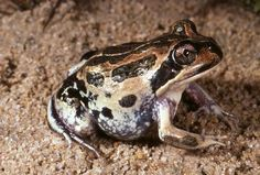 Western Pobblebonk or Banjo Frog