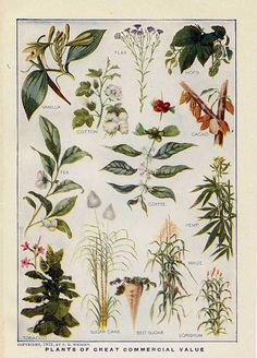 Plants Of Great Commercial Value Including Hemp.  Copyright, 1912, By F. E. Wright