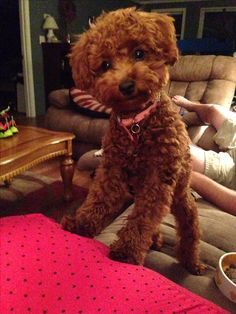 Ruby my red toy poodle