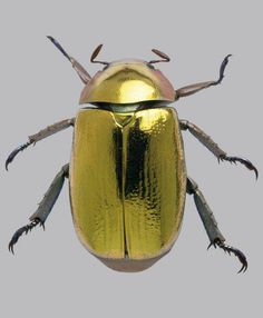 Golden tortoise beetle (Metriona bicolor) - its gold coloration is an optical illusion - the outer cuticle is transparent and reflects light through a layer of liquid over the next layer of cuticle.