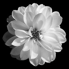 A GLORIOUS WHITE FLOWER ON BLACK BACKGROUND