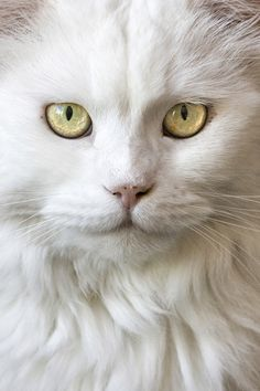 Baba ~ white long haired cat