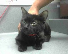 BECOMES URGENT & AT RISK AFTER MAY 25TH  HER KITTENS: A473546 & A473547  CECILLE #A473545 (Moreno Valley CA) Female black Domestic Shorthair. The shelter thinks I am about 1 year. I have been at the shelter since May 18 2017 and I may be available for adoption on May 25 2017 at 11:53AM.  http://ift.tt/2q3HHQq  For more information about this animal call:  Moreno Valley Animal Shelter at (951) 413-3790 Ask for information about animal ID number A473545  #Adoptdontshop #Adoptdontshopcalifornia…