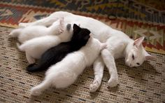 A white mom with white kittens except one! In the second photo kittens sleeping in a rather funny way