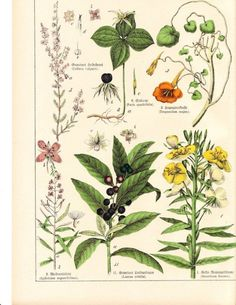 antique botanical prints.