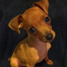 Our sweet Min Pin, Izzy Bella.