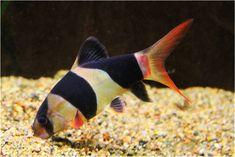 Tropical Aquarium, Tropical Fish, Aquarium Fish, Pez Botia, Clown Loach, Discus, Beautiful Fish, Freshwater Aquarium, Fresh Water