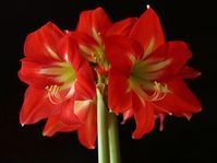 Amaryllis flowers are a welcome sight during the winter with their large, showy blooms and vivid colors. Here are some tips for getting the bulbs to bloom for you. Amaryllis Care, Amaryllis Plant, Amaryllis Bulbs, Small Flowers, Red Flowers, Colorful Flowers, Old Farmers Almanac, Smart Garden, Soil Layers