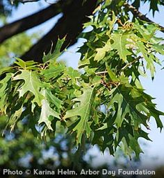 The majestic northern red oak, Quercus rubra, would make a beautiful addition to the landscaping for a ranch-style home. From the Arbor Day Foundation, which offers inexpensive trees for climates around the US.