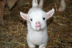 Baby Pygmy Goats for Sale   Miniature Pygmy Goats for Sale in Lula, Georgia Classified   HoodBiz ...
