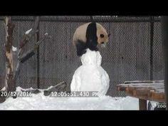 Giant Panda Cubs Enjoy the Snow at Toronto Zoo ❄️
