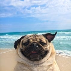 101 Best Doug The Pug Pictures - meowlogy Cute Pug Puppies, Cute Dogs, Dogs And Puppies, Doug The Pug, Funny Dogs, Funny Animals, Cute Animals, Pug Wallpaper, Baby Pugs