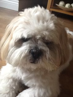 Lhasa Apso Boxer Puppies, Boxer Mix, Dogs And Puppies, Doggies, Tibetan Terrier, Bull Terrier Dog, Lhasa Apso, Cute Little Puppies, Cute Puppies