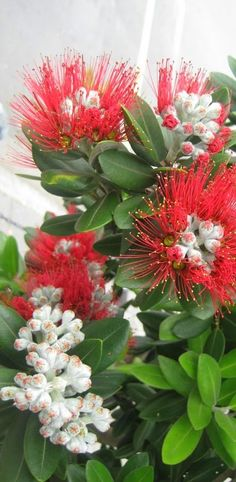 A pohutukawa flowering in Coromandel town, North Island, New Zealand. Often thought of as New Zealand's Christmas tree, they flower around this time, adding colour & charm ~ Unusual Flowers, Amazing Flowers, Beautiful Flowers, Albizia Julibrissin, Kiwiana, Growing Tree, Native Plants, Planting Flowers, New Zealand