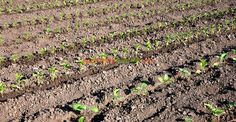 La ce distanţe se plantează răsadurile de legume | Paradis Verde Paradis, Gardening, Vegetable Garden, Plant, Garten, Lawn And Garden, Garden, Square Foot Gardening, Garden Care