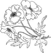 Poppies Flower Coloring page