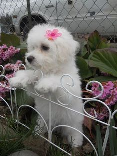 Sweet little Bichon. Looks exactly like my pup, Baby Girl, a/k/a Princess Fluffy Butt White Puppies, Little Puppies, Little Dogs, Dogs And Puppies, Doggies, Animals And Pets, Baby Animals, Cute Animals, Baby Cats
