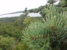 pine needles :)