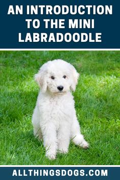 "Also known as the """"world's most loving dogs"""", the Mini Labradoodle make themselves known with their adorable, curly appearances and loving personality. Read our breed guide to learn more about this smart, sassy and sweet designer dog. #minilabradoodle #miniaturelabradoodle #labradoodle"