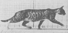 cavetocanvas,hoppip:    Cat in motion by Eadweard Muybridge, c. 1880s