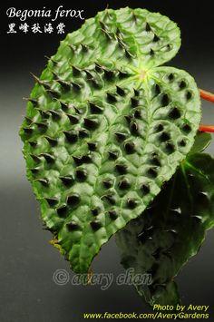 Avery Gardens: Begonia ferox 黑峰秋海棠