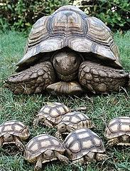Mama Tortoise & Cute Babies