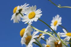 #bloom #blossom #chamomile #flora #flowers #macro #royalty free images