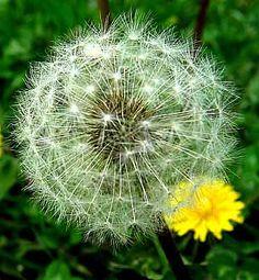 dandelion wishes~✿⊱╮