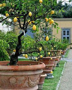 Potted lemon trees - Villa Medici di Castello, Tuscany, Italy Gartengestaltung When Life Gives You Lemons Tuscan Garden, Italian Garden, Italian Villa, Garden Trees, Garden Pots, Potted Garden, Fruit Garden, The Secret Garden, Fruit Trees