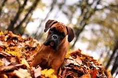 Omg! Boxers and fall just go together like peas in a pod!