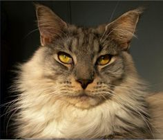 Democratic Underground - He looks more like a Norwegian Forest cat to me - Democratic Underground