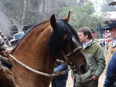 Chilean horse purebred- Caballo Chileno de pura raza record since 1893 Gaucho, Horse Caballo, All About Horses, Conquistador, Appaloosa, Horse Photography, Horse Breeds, Zebras, Beautiful Horses