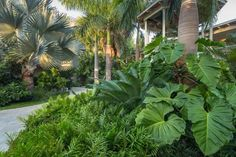 Tropical Landscaping - Elephant ear plants and various types of palms create a lush, tropical landscape