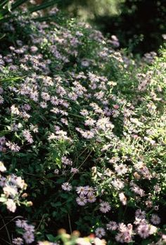 """Climbing Florida Aster-has a lovely 'powdery""""scent-much like Baby powder-its apparently deciduous,which many Florida gardeners are unfamiliar with(ive had to duke it out with various sillies who wanted to(or DID)cut down a helpless dormant plant because""""It wuz ded""""(yes,thats how these plant whacking folk sounded to me!)I in turn had to stifle the strong impulse to use the weedwhackers against the young morons.The plants in question were protected by fencing,& some were even potted!)So post…"""