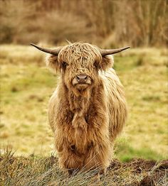 Highland Coo in the Glasgow and Clyde Valley region, Scotland. Highland Cow Painting, Highland Cow Art, Highland Cattle, Cute Baby Cow, Baby Cows, Cute Cows, Baby Elephants, Scottish Animals, Scottish Highland Cow