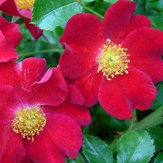 Flower Carpet Red | by tesselaarusa