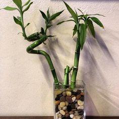 Cómo cultivar Bambú de la suerte | Cuidar de tus plantas es facilisimo.com
