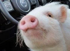 American Mini Pig Association was created to educate, advocate, protect miniature pigs, improve breeding practices. Miniature Pigs, Small Pigs, Will You Go, Mini Pigs, This Little Piggy, Education And Training, Play Golf, Pets, Car