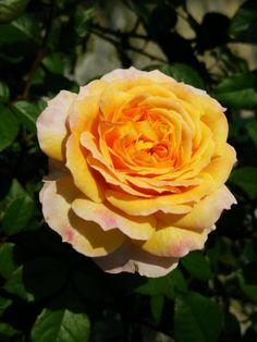 'Georges Denjean Hahn'   Shrub Rose. Production in 2005 Dominique Massad