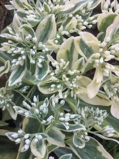 Sedum 'Frosty Morn' is awesome. Clint Brown