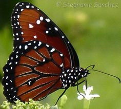 which butterfly do you have? GREAT way to learn viceroy vs queen vs monarch vs soldier!