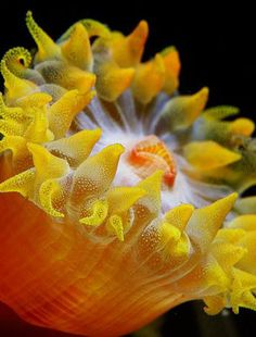 Yellow Sea Anemone