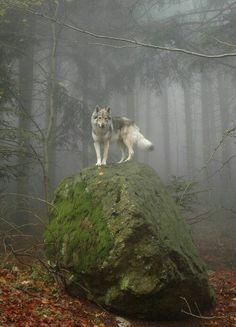 Vlk na rozhladni