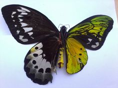 This butterfly is a bilateral gynandromorph: literally half male, half female.