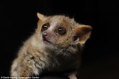 The teacup-sized mouse lemurs are the world's smallest and fastest-reproducing primates. As a result, their collective DNA reflects changes in their surroundings at a faster rate than many other mammals. A new study uses mouse lemur genomes to reconstruct Madagascar's forests before human arrival