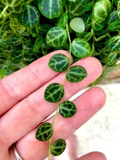 Peperomia Prostrata Turtles on a String Cuttings - Pflanzen - Plants Succulents In Containers, Planting Succulents, Potted Plants, Garden Plants, Indoor Plants, Planting Flowers, Decoration Plante, Little Gardens, Plants Are Friends