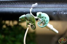Two baby Veiled Chameleons hanging around at Zoo Med Labs.