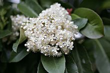 Photinia - Wikipedia, the free encyclopedia Fall Plants, Crown, Creative, Leaves, Rose Trees, Shrubs, Flowers, Corona, Crowns